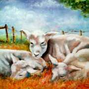 Three sleeping sheep