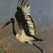 Heron Redband