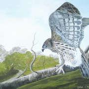 hawk on the hunt