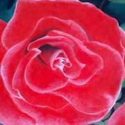Irish Art, Red Rose,