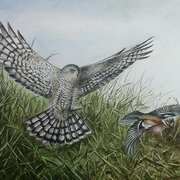 'Sparrowhawk and Chaffinch'