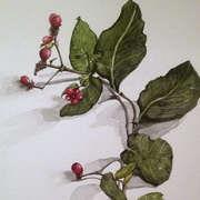 Honeysuckle in Berry