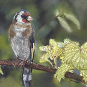 Goldfinch On Vines
