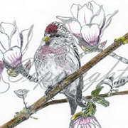 Redpoll with magnolia