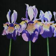 Irish Art, 5 Irises,