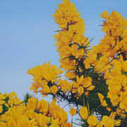 Irish Art, Gorse in Full Bloom II,