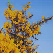 Irish Art, Yellow Gorse II,