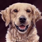 Irish Art, Charlie Girl Golden Retriever,